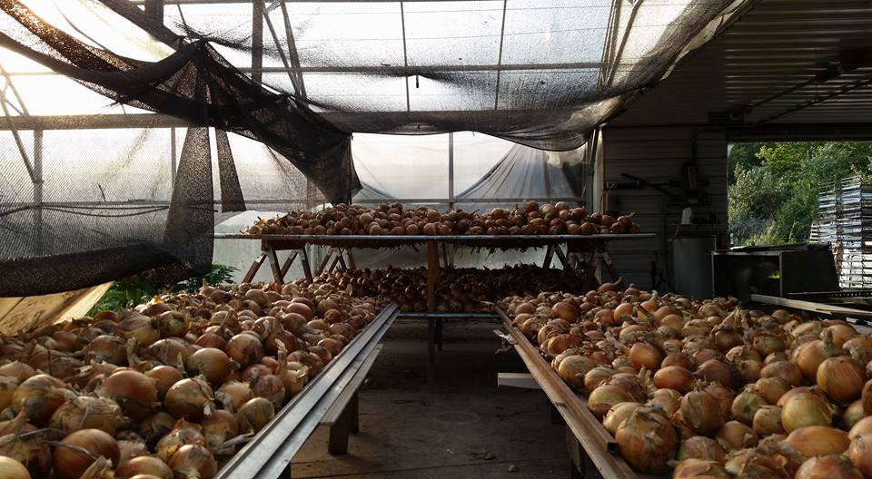 Food Farm onions drying out for winter storage